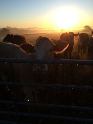 Cow morning